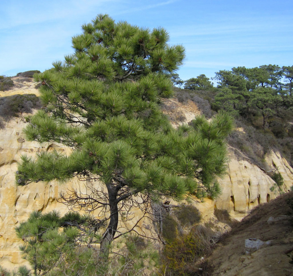 Torrey Pine and Yellow Rock